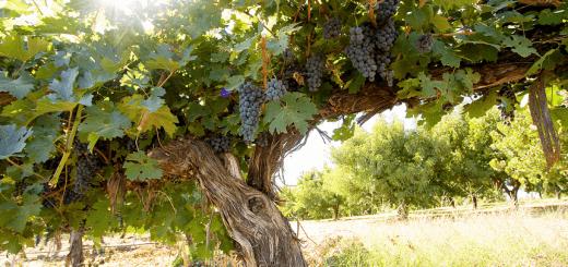 s'installer comme viticulteur vigneron